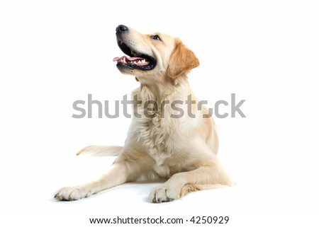 retriever labrador laying down on the ground and looking up - stock photo