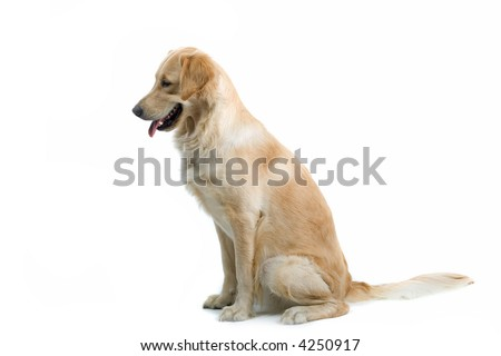retriever labrador sitting and looking down - stock photo