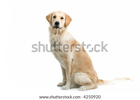 retriever labrador sitting and looking into the camera - stock photo