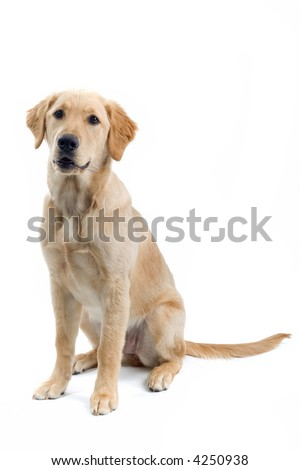 retriever labrador sitting down
