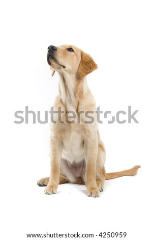 retriever labrador sitting down and looking up - stock photo