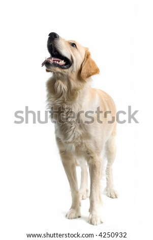 retriever labrador standing and looking up - stock photo