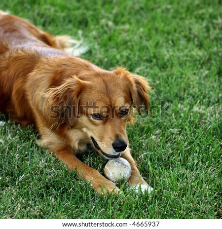 retriever lying on grass with toy ball between paws