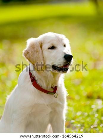 retriever puppy - stock photo