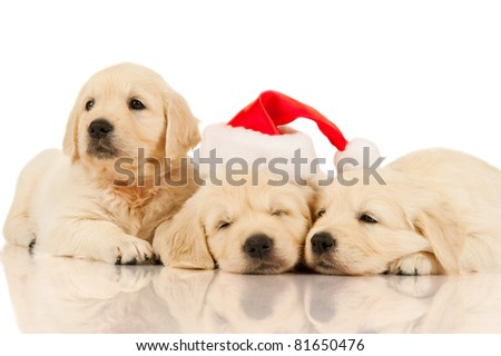 retriever puppy in a Santa Claus hat - stock photo