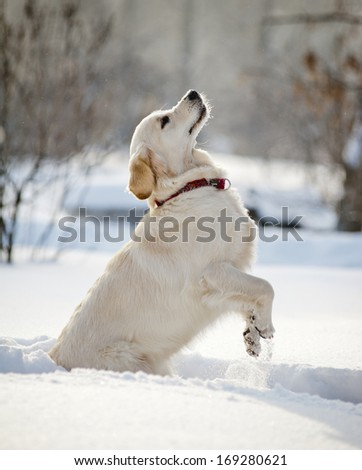 retriever puppy in winter - stock photo