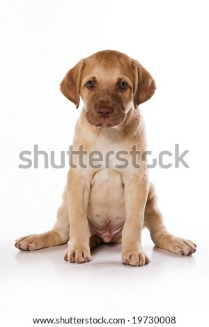 Retriever puppy on white background