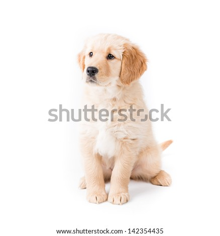 Retriever Puppy Sitting Looking Left. a cute 2 month old golden retriever puppy looks camera left very aware on white - stock photo