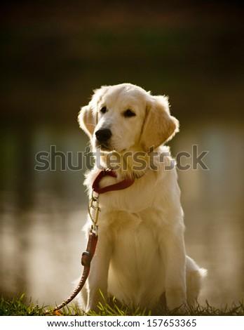 retriever puppy (small Dog) - stock photo
