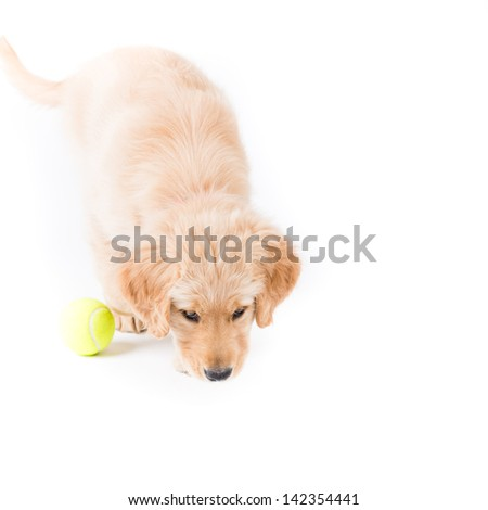 Retriever Puppy Sniffing. a cute 2 month old golden retriever puppy sniffs the ground with a tennis ball