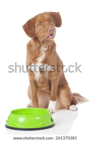 Retriever sitting behind food bowl isolated on white