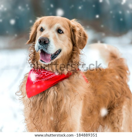 retriever walk at the snow in winter park close-up - stock photo