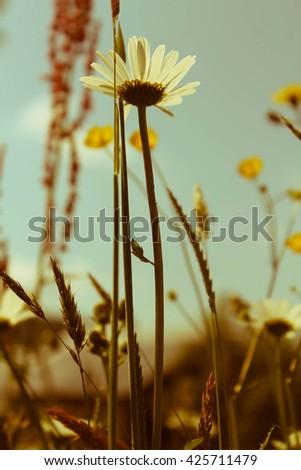 Retro chamomiles in the nature. - stock photo