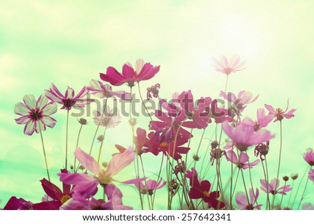 Retro cosmos flower fields background. - stock photo