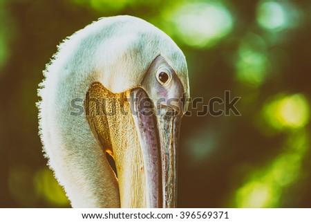 Retro Filter Of Wild Pelican Portrait - stock photo