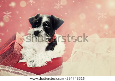 Retro image of a cute little black and white Mini Schnauzer puppy peeping out of a beautiful red festive Christmas present. Extreme shallow depth of field with selective focus on puppies face. - stock photo