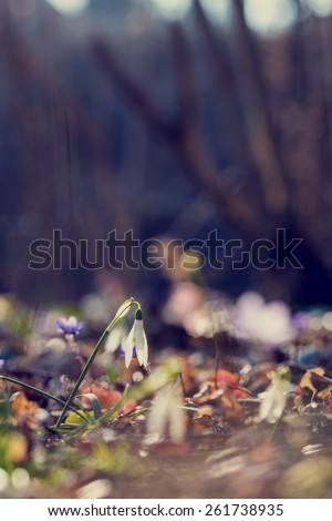 Retro image of first spring flowers with a low angle view of daint fresh white snowdrops symbolising the changing seasons in the garden with shallow dof and copyspace. - stock photo