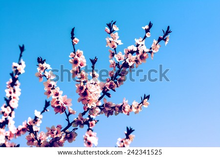 Retro Photo Of Cherry Tree Flowers Spring Blossom