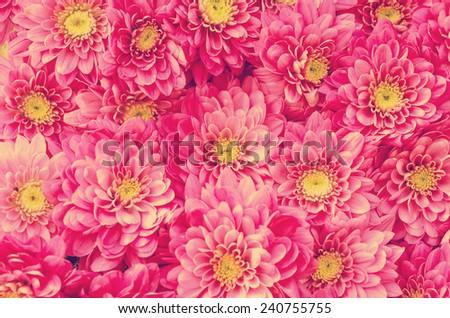 Retro Photo Of Dahlia Flowers In Garden - stock photo