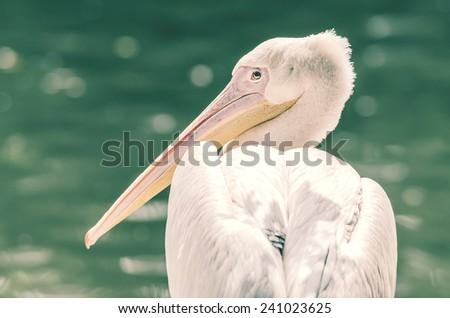 Retro Photo Of Wild Pelican In The Danube Delta - stock photo
