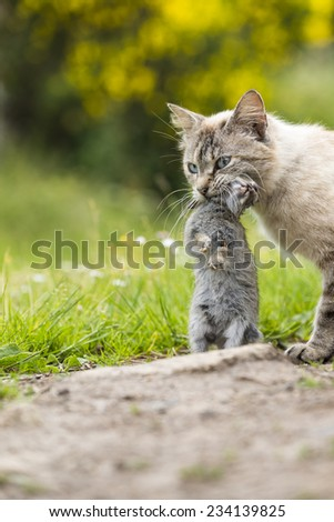 Return of hunting. A tabby cat walking with a young dead rabbit on its mouth. Outdoors portrait of domestic cat. Color image - stock photo
