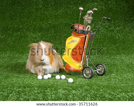 Rex guinea pig with mini golf bag on green lawn - stock photo