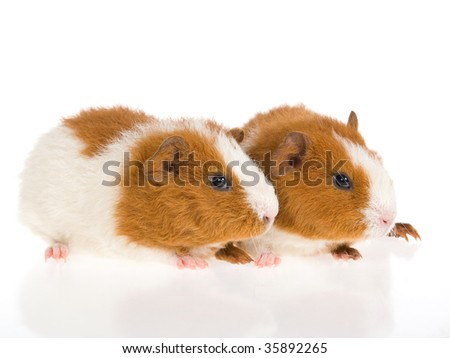 Cute Guinea Pig Breeds Rex Guinea Pigs Breeding Pair