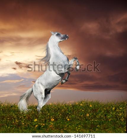rey arabian horse rearing - stock photo