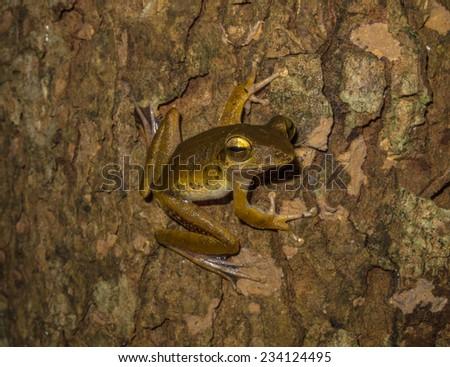 Rhacophorus flying frog, Cuc Phuong National Park, Vietnam - stock photo