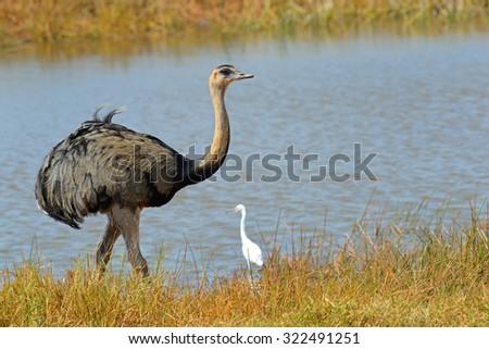 rhea bird - stock photo