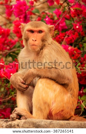 Rhesus macaque (Macaca mulatta) sitting near Galta Temple in Jaipur, India. The temple is famous for large troop of monkeys who live here.