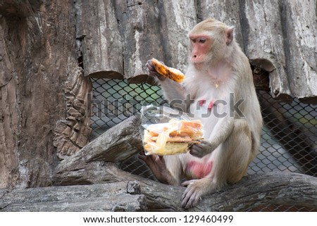 Rhesus Macaque Monkey eating bread stick