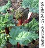 Rheum rhabarbarum: Newly sprouted Rhubarb shoots and leaves emerging in Spring - stock photo