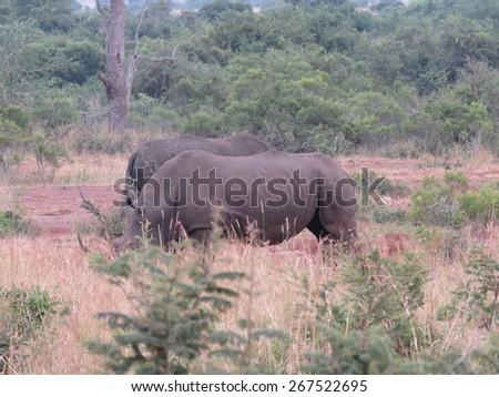 Rhino. - stock photo