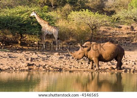 Rhino and Giraffe - profiles - stock photo