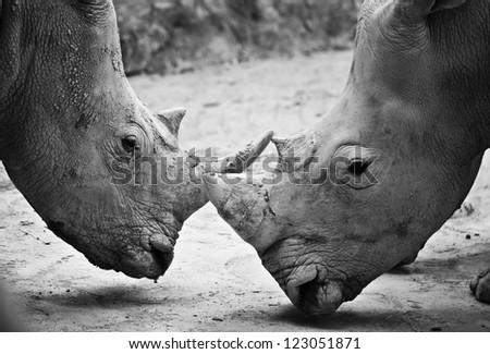 Rhino , black and white - stock photo