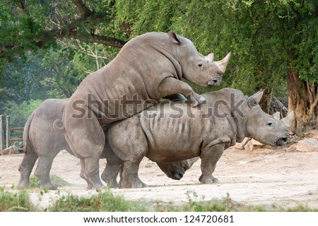 Rhino breeding - stock photo