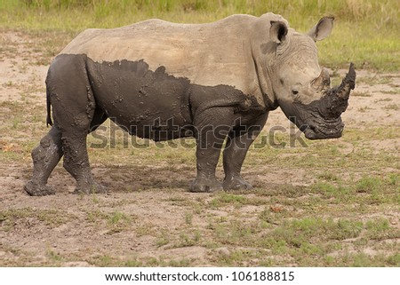 Rhino Bull after a mud bath