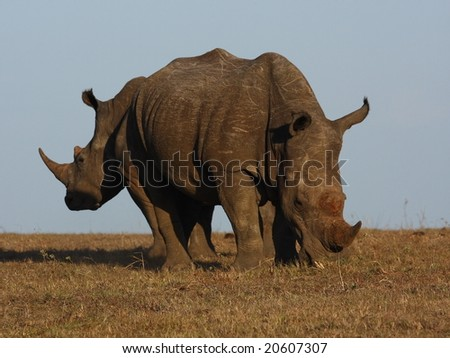 Rhino bull and cow back to back. - stock photo