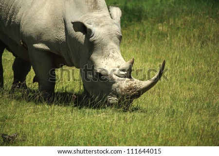 Rhino covered in flies Lake Nakuru Kenya Africa - stock photo