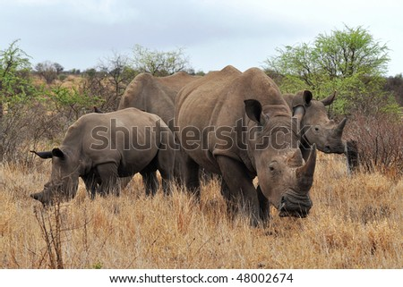 rhino family in Kruger national park