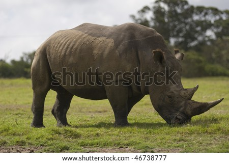 Rhino grazing at a wildlife reserve in South Africa - stock photo