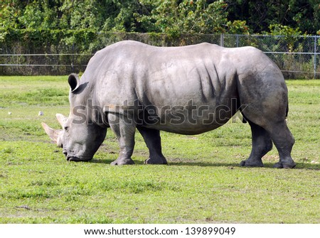 Rhino grazing in a wildlife sanctuary side view - stock photo