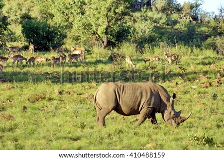 Rhino grazing in the African bush with a herd of antelopes behind it, in the distance - stock photo
