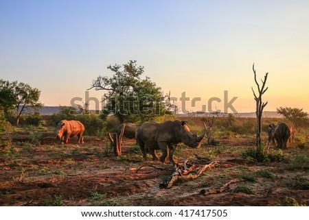 Rhino herd moving around at sunset - stock photo