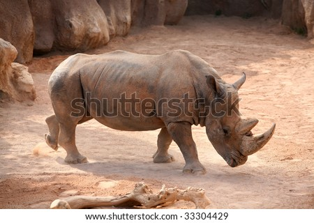 Rhino in bioparc, Valencia, Spain
