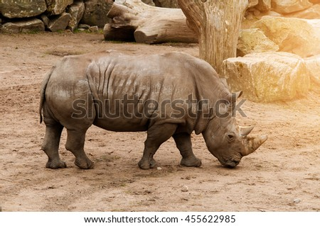 Rhino in captivity on gravel ground shot from the side