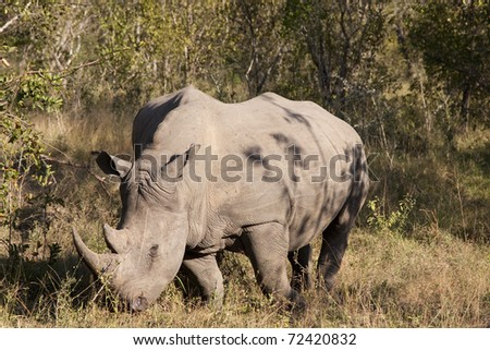 rhino in sabi sands game reserve, south africa