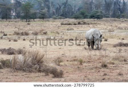 rhino in the national park of kenya - stock photo