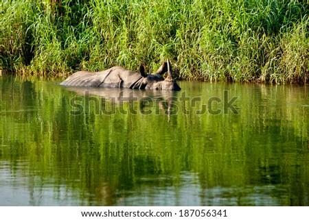 Rhino is bathing in river in Chitwan national park - stock photo